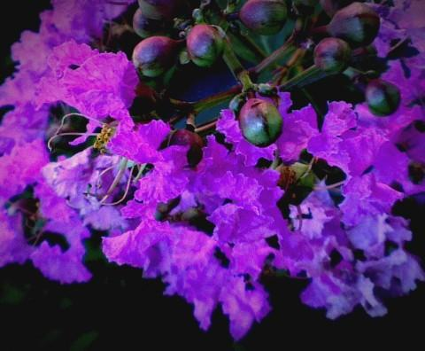 Lagerstroemia - Lilas des Indes